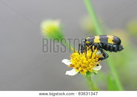 blister beetle eating flower