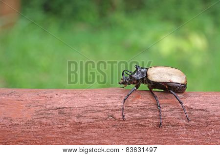 Five Horned Beetle