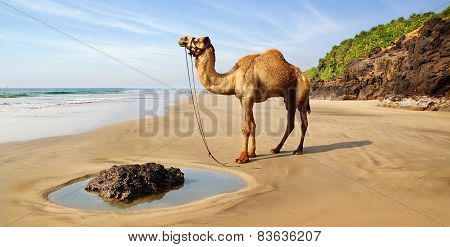 Landscape With Camel,  India