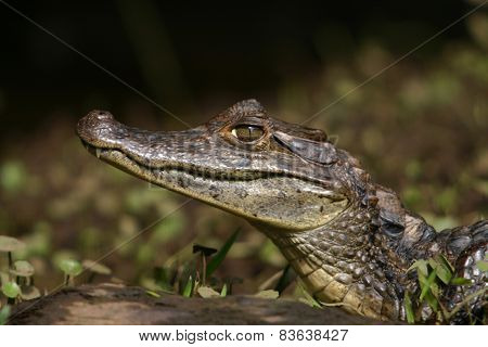 Caiman Gator4
