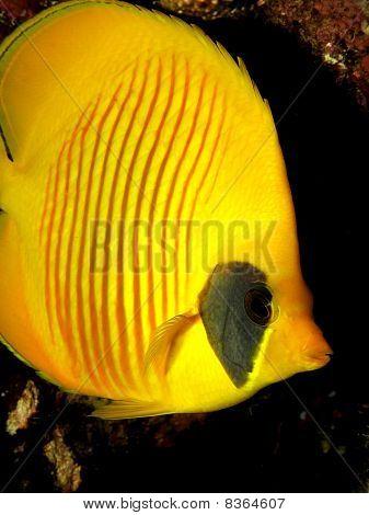 Masked Butterflyfish (Chaetodon semilarvatus)