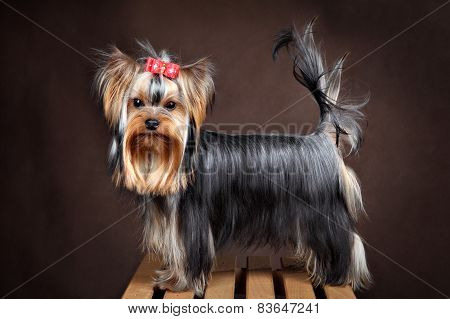 Small Purebred Domestic Dog, Yorkshire Terrier Studio Shot, Dark Background.