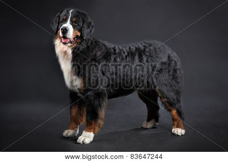 Big Shaggy Black Domestic Animal, Bernese Mountain Dog Studio Shot.