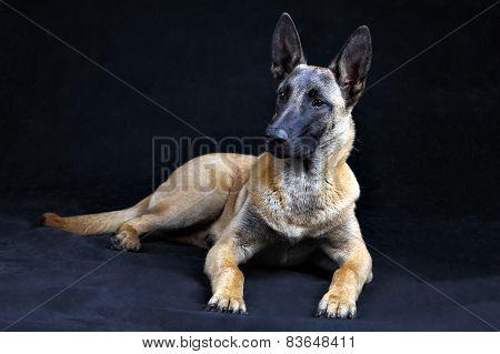 Belgian Shepherd Dog Malinois Isolated On Grey Background, Studio Shot.