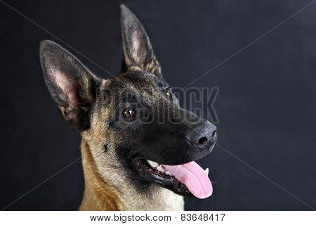 Malinois Belgian Shepherd Dog Studio Portrait, Gray Background Close-up Face