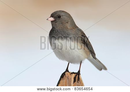 Junco On A Fence