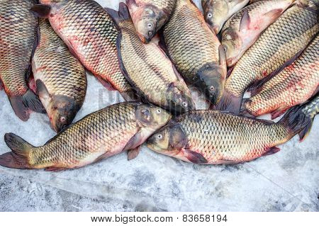 Alive carp for sale