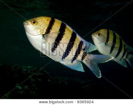 Sergeant fish