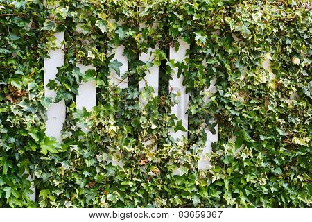 Parthenocissus tendril climbing decorative plant