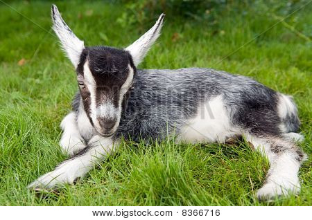 Black White Young Goat On Green Grass