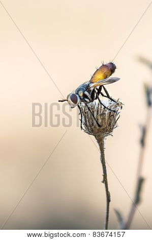 small fly isolated on dried flower with hairs and details