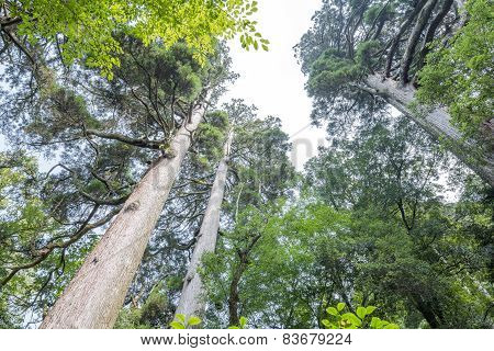 Large japanese cedar forest