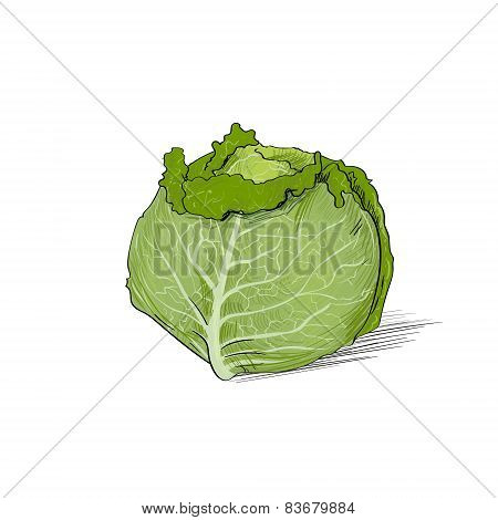 cabbage color sketch draw isolated over white background