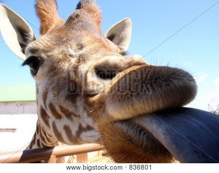 giraffe's kiss