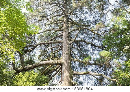 Large japanese cedar tree