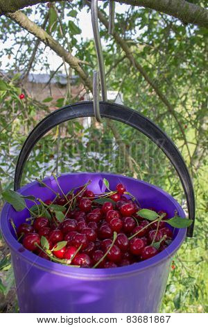 Cherries On A Tree With A Bucket