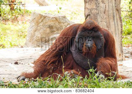 Bornean Orangutan (Pongo Pygmaeus )