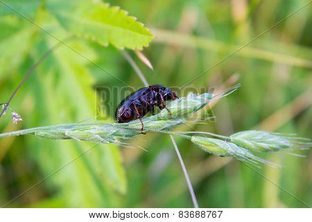 Beetle Asemum Striatum