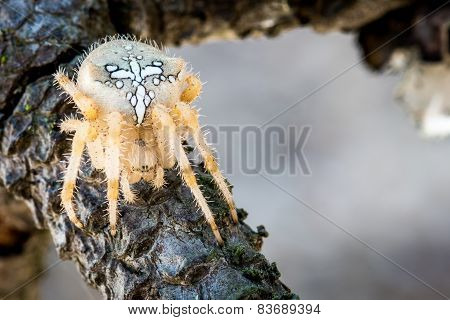 hairy spider with white spots on branch. detail of the eye