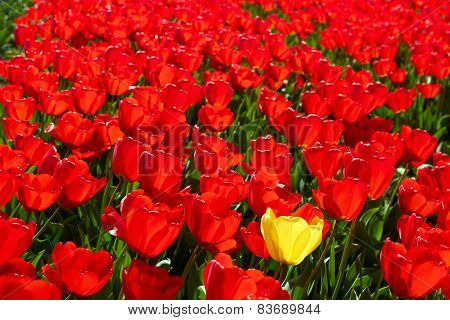 background of One yellow tulip among red ones