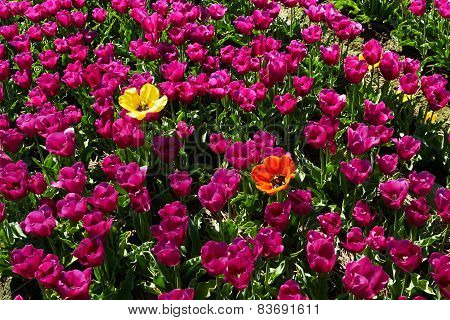 Two different  yellow and red tulips among violet ones