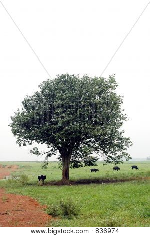 tree cows