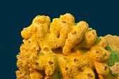 image of bottom  - coral reef with great yellow sea sponge at the bottom of tropical sea