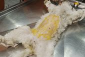 image of anesthesia  - Shaved dog under anesthesia prepared for sterilization operation - JPG