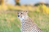 pic of cheetah  - Close - JPG