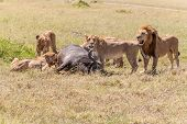 foto of african lion  - Lions Feeding  - JPG
