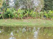 stock photo of banana tree  - Group of banana tree near by the river at Thailand - JPG