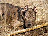 image of pure-breed  - dog breed pit bull lying on the grass with a stick - JPG