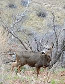 stock photo of mule  - A Mule deer in meadow  - JPG