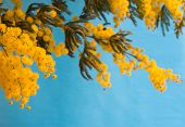 picture of mimosa  - Branch of mimosa on blue background - JPG