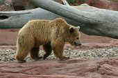 foto of stomp  - Great grizzly bear out on a stomp - JPG