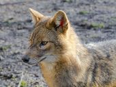 picture of jackal  - European golden jackal  - JPG