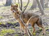 stock photo of jackal  - European golden jackal  - JPG