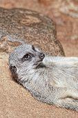 picture of meerkats  - Portrait of young meerkat on the stones  - JPG