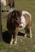 picture of bridle  - a cute tiny pony with bridle tied to fence - JPG