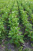 picture of potato-field  - potato blossoms in summer farm field Bloom  - JPG