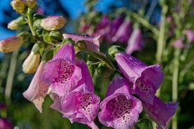 stock photo of digitalis  - Foxglove common foxglove purple foxglove or Digitalis purpurea flower macro - JPG