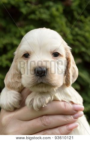 Looking English Cocker Spaniel Puppy