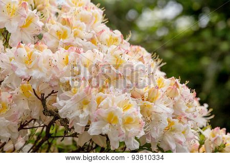 White Azalea, Rhododendron Bush In Blossom