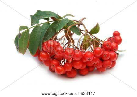 Ashberries