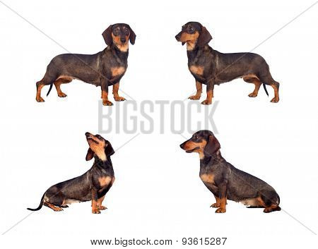 Photos sequence of dog teckel isolated on white background