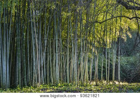 Bamboo Forest Edge