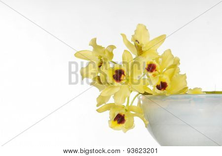 Yellow branch orchid in bowl on white background