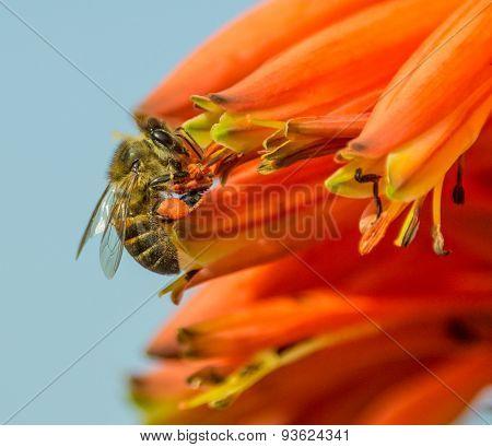 Cape Honeybee