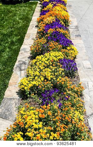 Many Pansies In Stone Planter