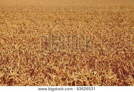 Fields of wheat at the end of summer